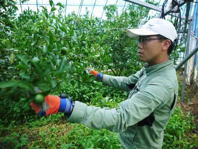 究極の柑橘『せとか』 美味しくて甘く、大きな果実を作り上げるための匠の摘果作業(2021)_a0254656_18055113.jpg
