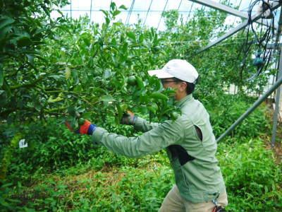 究極の柑橘『せとか』 美味しくて甘く、大きな果実を作り上げるための匠の摘果作業(2021)_a0254656_18075380.jpg