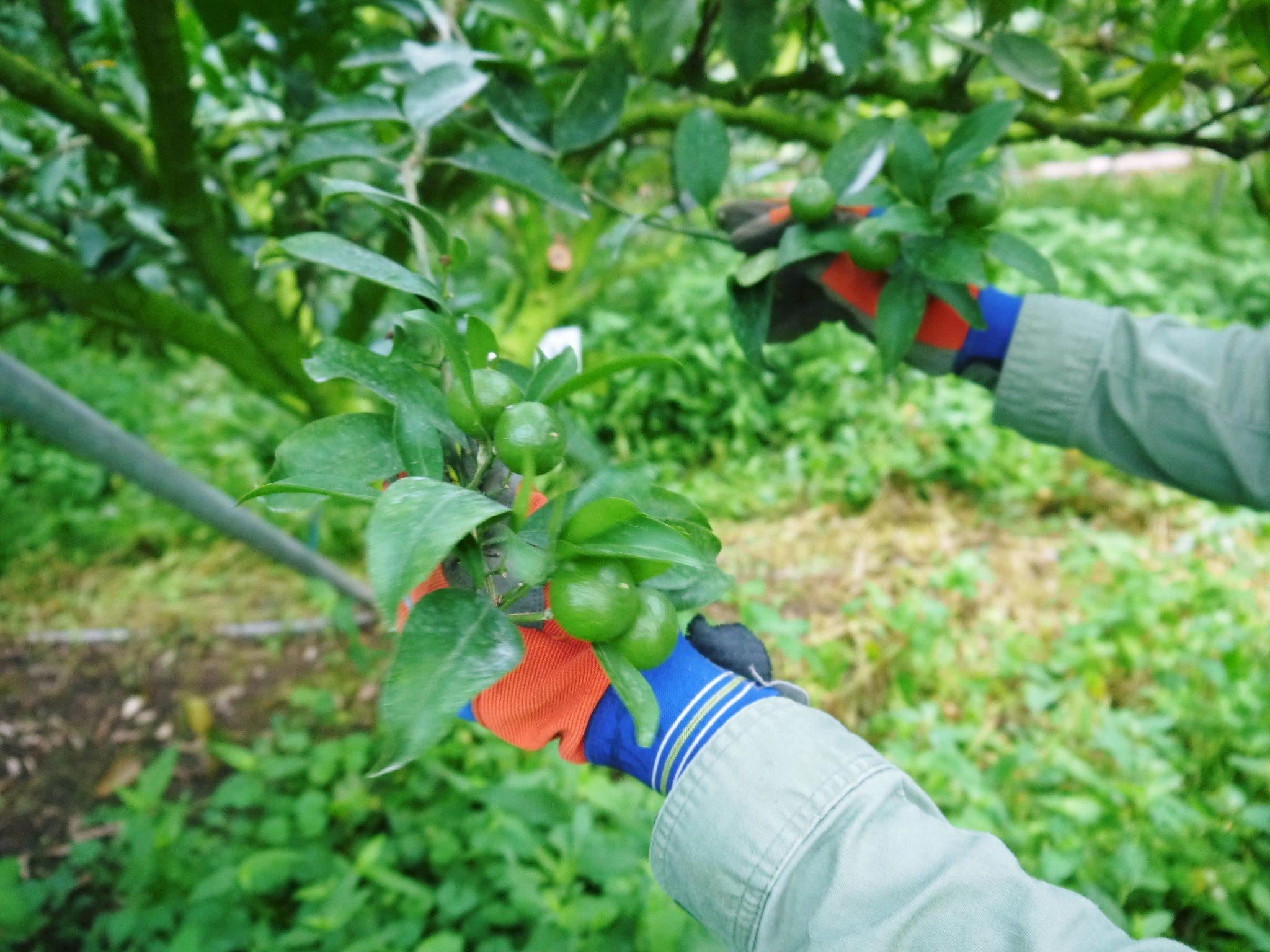 究極の柑橘『せとか』 美味しくて甘く、大きな果実を作り上げるための匠の摘果作業(2021)_a0254656_18110796.jpg