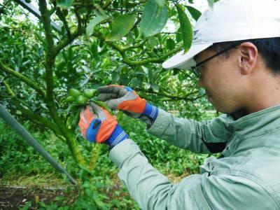 究極の柑橘『せとか』 美味しくて甘く、大きな果実を作り上げるための匠の摘果作業(2021)_a0254656_18190070.jpg
