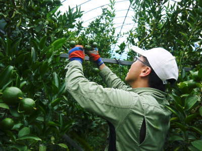 究極の柑橘『せとか』 美味しくて甘く、大きな果実を作り上げるための匠の摘果作業(2021)_a0254656_18222016.jpg