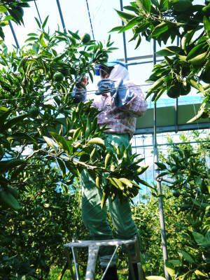 究極の柑橘『せとか』 美味しくて甘く、大きな果実を作り上げるための匠の摘果作業(2021)_a0254656_18383038.jpg
