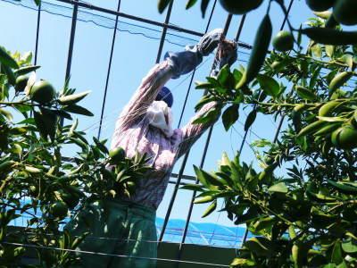 究極の柑橘『せとか』 美味しくて甘く、大きな果実を作り上げるための匠の摘果作業(2021)_a0254656_18400685.jpg