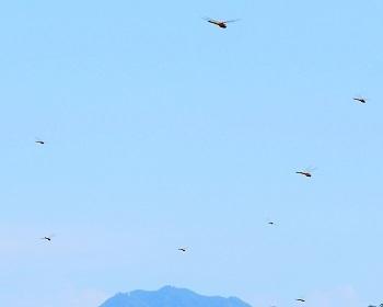 新開に群れ飛ぶ赤トンボ_e0175370_11375251.jpg