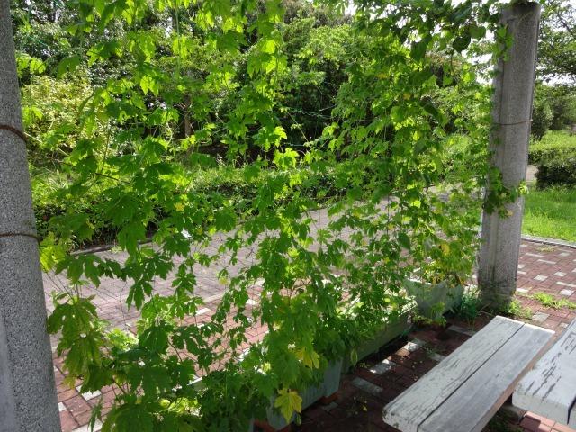 緑のカーテン(ゴーヤ・アサガオ)栽培実験R2.7.15_d0338682_16465126.jpg