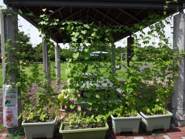 緑のカーテン(ゴーヤ・アサガオ)栽培実験R2.7.15_d0338682_16540562.jpg