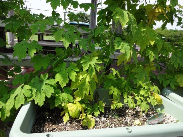緑のカーテン(ゴーヤ・アサガオ)栽培実験R2.7.15_d0338682_16541675.jpg