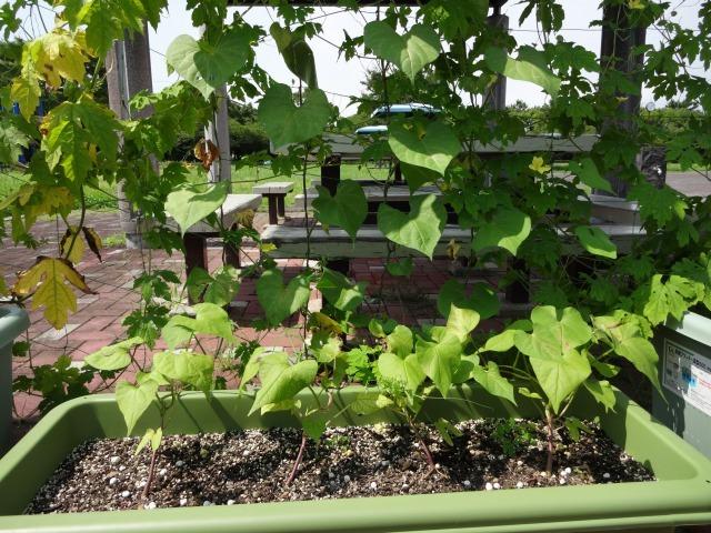 緑のカーテン(ゴーヤ・アサガオ)栽培実験R2.7.15_d0338682_16544674.jpg