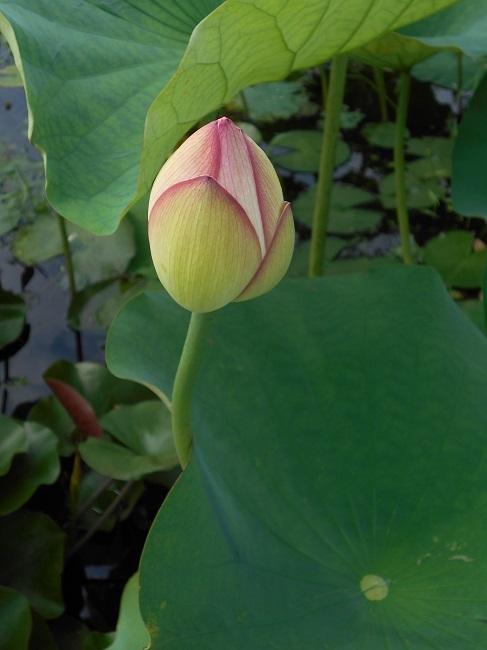蓮の花を求めて【馬見塚】_d0153860_03461372.jpg