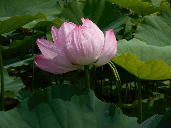 蓮の花を求めて【馬見塚】_d0153860_03463403.jpg