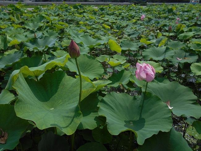 蓮の花を求めて【馬見塚】_d0153860_03463731.jpg
