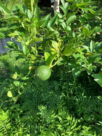 自宅ではレモン、店ではミニトマト!_a0077071_14280313.jpg
