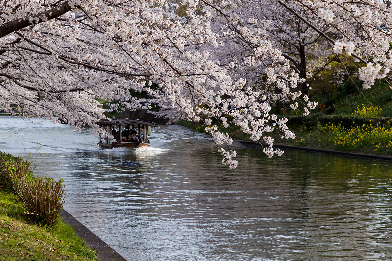 2021桜咲く京都  伏見濠川の桜と澱川橋梁_f0155048_23311328.jpg