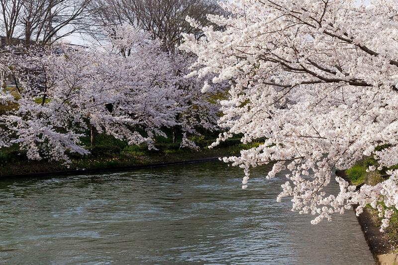 2021桜咲く京都  伏見濠川の桜と澱川橋梁_f0155048_23313672.jpg