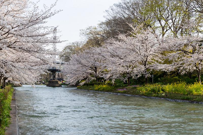 2021桜咲く京都  伏見濠川の桜と澱川橋梁_f0155048_23314304.jpg