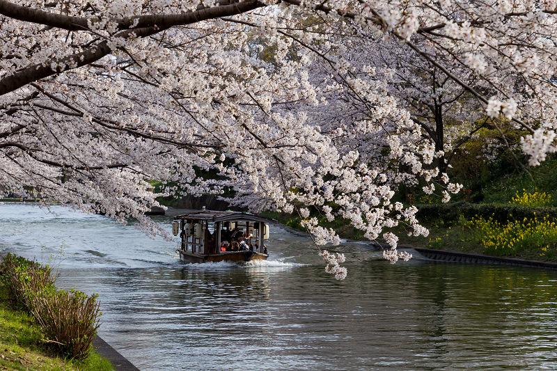 2021桜咲く京都  伏見濠川の桜と澱川橋梁_f0155048_23315875.jpg
