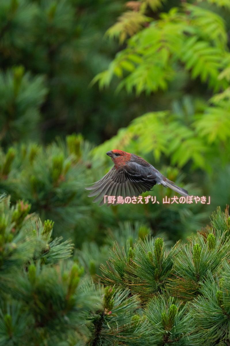 山も暑い・・・ギンザンマシコ。_f0194048_20261653.jpg