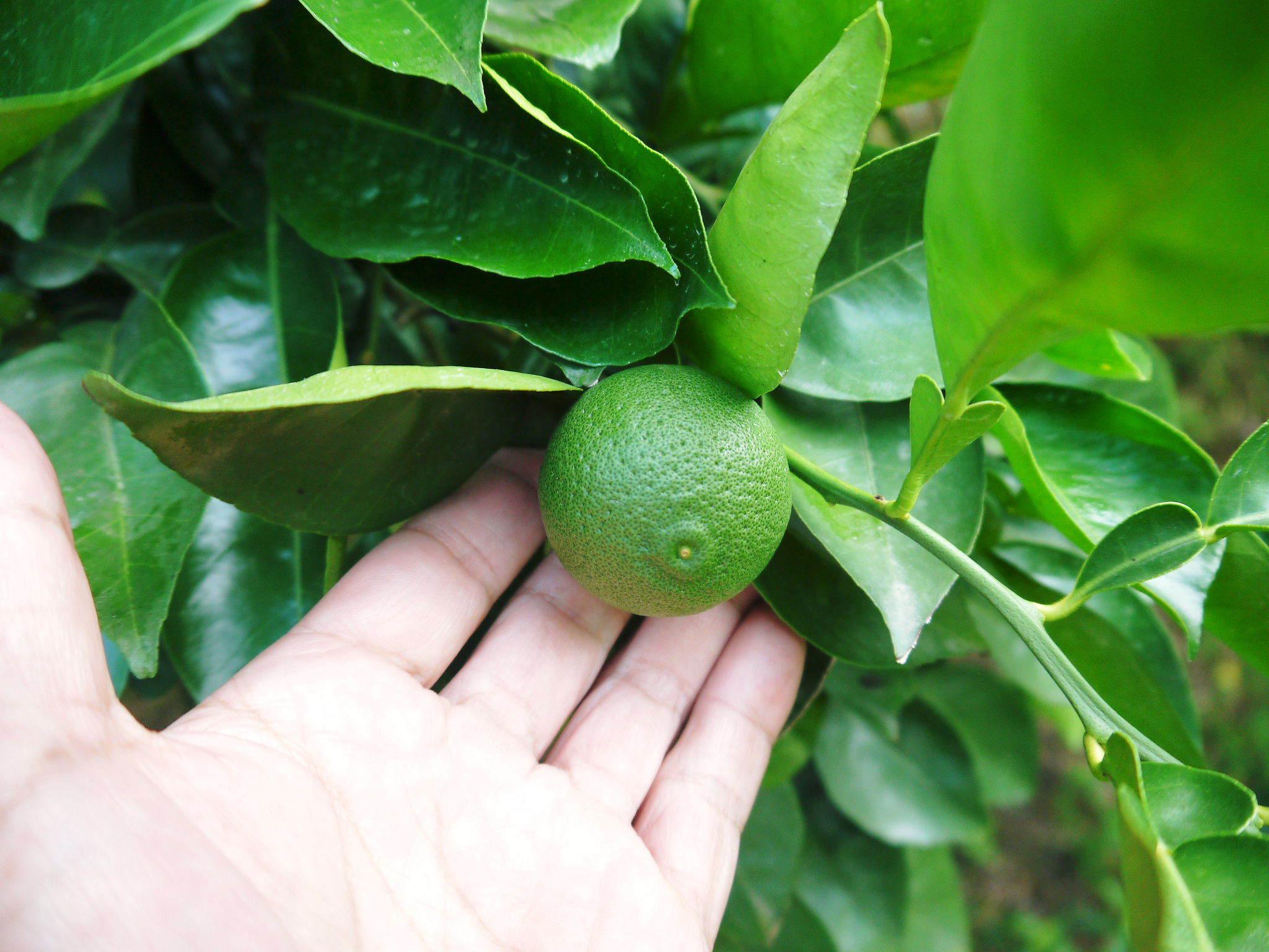 熊本県産!無農薬栽培の『種なしかぼす』令和3年の出荷は8月中旬からです!今年も順調に成長中!_a0254656_18175067.jpg