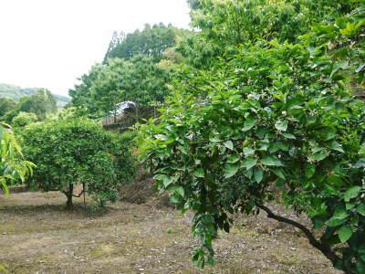 熊本県産!無農薬栽培の『種なしかぼす』令和3年の出荷は8月中旬からです!今年も順調に成長中!_a0254656_18191602.jpg