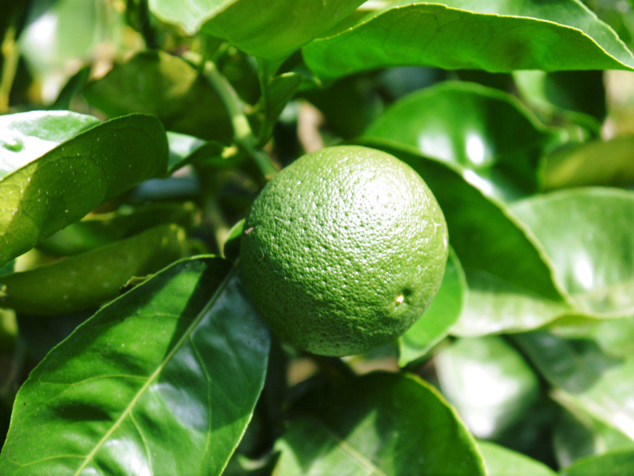 熊本県産!無農薬栽培の『種なしかぼす』令和3年の出荷は8月中旬からです!今年も順調に成長中!_a0254656_18292039.jpg