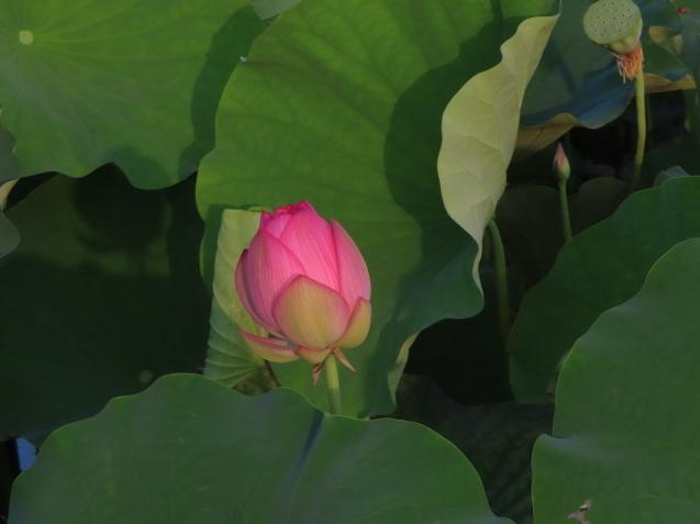 極楽浄土 蓮の花 2021/07/22_d0048812_10444930.jpg