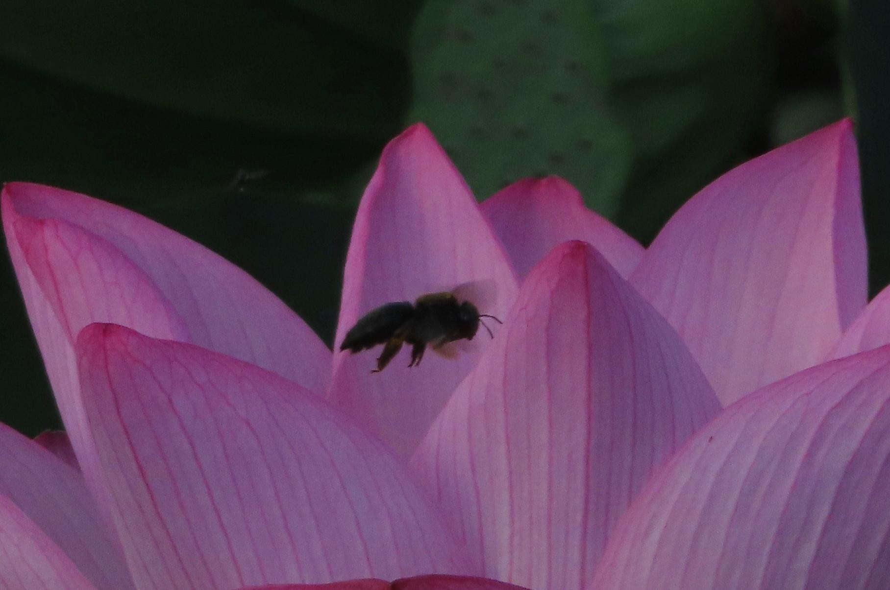 極楽浄土 蓮の花 2021/07/22_d0048812_10471400.jpg