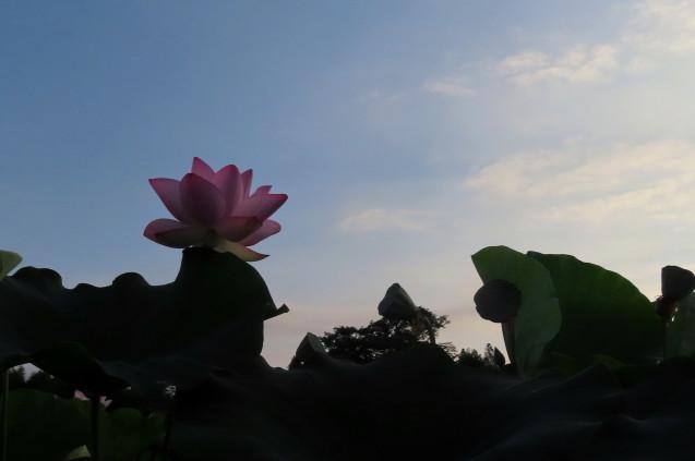 極楽浄土 蓮の花 2021/07/22_d0048812_10484727.jpg