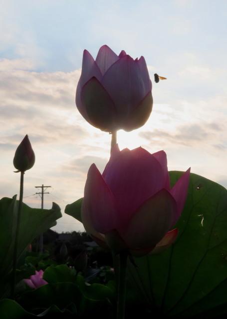 極楽浄土 蓮の花 2021/07/22_d0048812_10485819.jpg