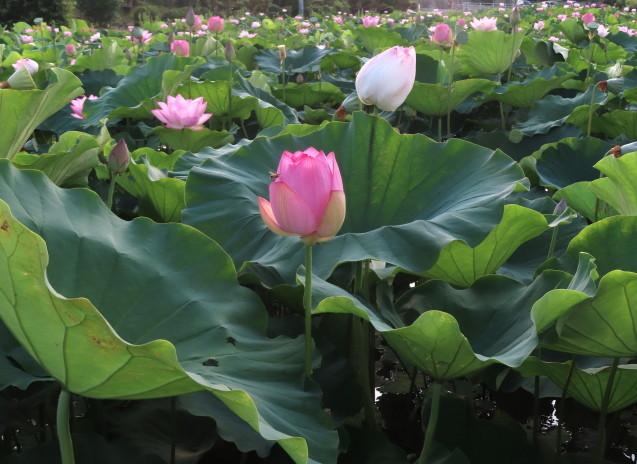 極楽浄土 蓮の花 2021/07/22_d0048812_10491271.jpg