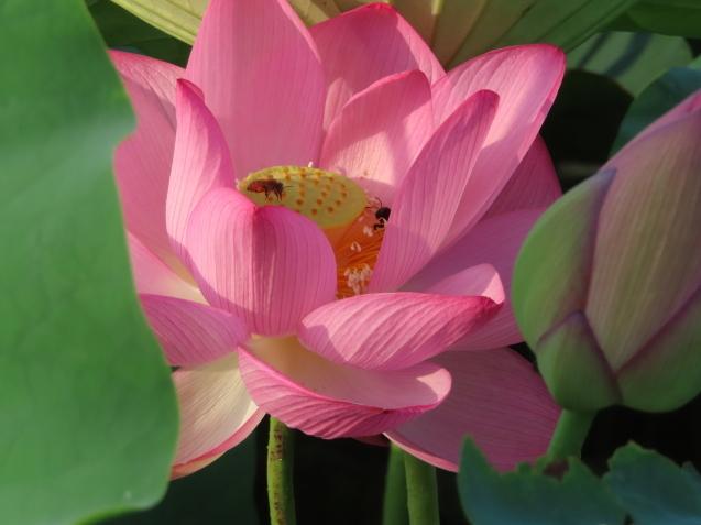 極楽浄土 蓮の花 2021/07/22_d0048812_10504283.jpg