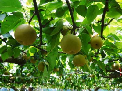 熊本梨 こだわりの樹上完熟梨『幸水』先行予約の受付をスタート!令和3年の初回出荷は7月30日(金)です!_a0254656_17283889.jpg