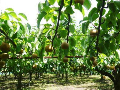 熊本梨 こだわりの樹上完熟梨『幸水』先行予約の受付をスタート!令和3年の初回出荷は7月30日(金)です!_a0254656_17304306.jpg