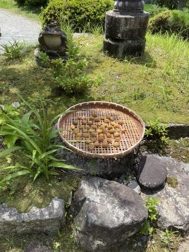 梅の土用干し & 裏山のノリウツギ_c0334574_16005240.jpeg