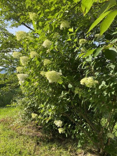 梅の土用干し & 裏山のノリウツギ_c0334574_16023442.jpeg