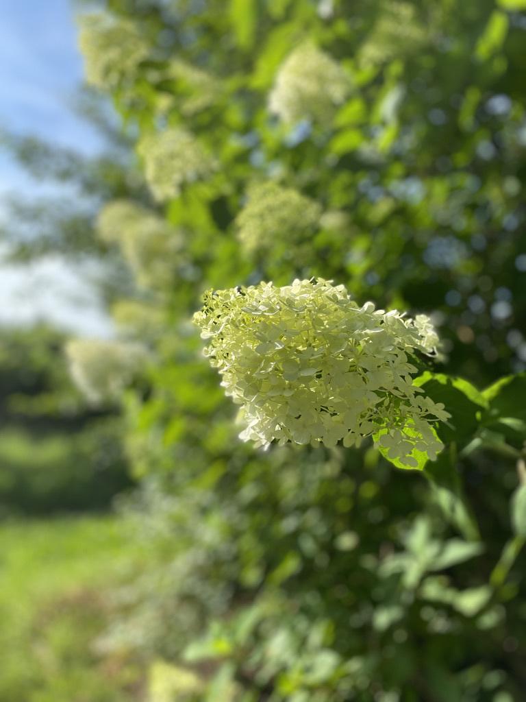 梅の土用干し & 裏山のノリウツギ_c0334574_16024927.jpeg