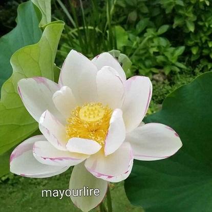 蓮の花が咲きました_d0169179_00074630.jpg