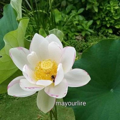 蓮の花が咲きました_d0169179_00085932.jpg