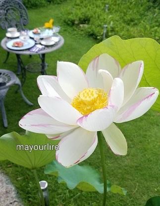 蓮の花が咲きました_d0169179_00103086.jpg
