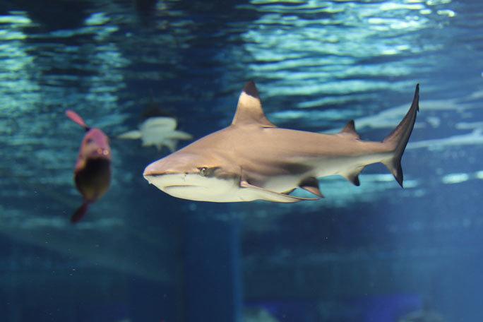 夏休みサメ特集~ヤジブカ、ツマグロ、カリフォルニアネコザメなど(アクアパーク品川)_b0355317_13544842.jpg