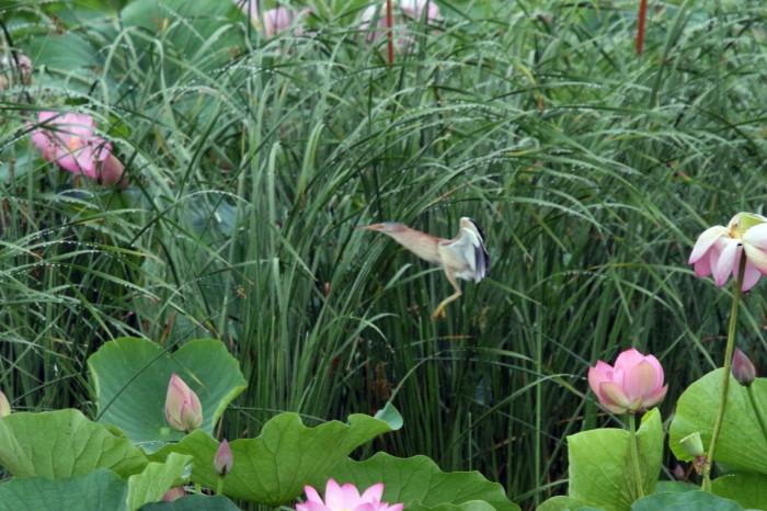 蓮池のヨシゴイ  その5_f0239515_17455053.jpg