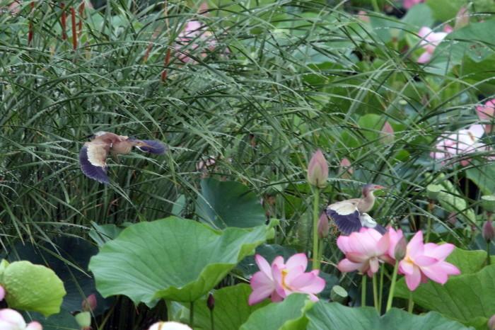蓮池のヨシゴイ  その5_f0239515_17514312.jpg