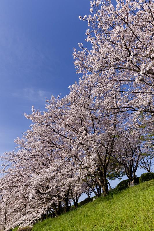 2021桜咲く京都  満開!木津川堤_f0155048_22273820.jpg