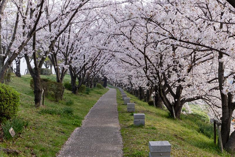 2021桜咲く京都  満開!木津川堤_f0155048_22275480.jpg
