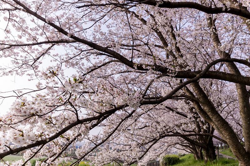 2021桜咲く京都  満開!木津川堤_f0155048_22284037.jpg