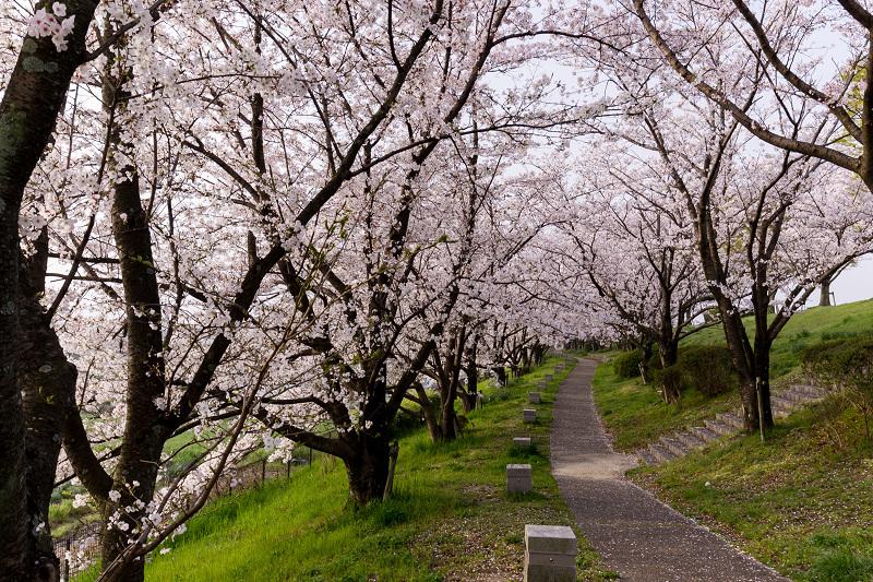 2021桜咲く京都  満開!木津川堤_f0155048_22290277.jpg