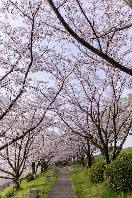 2021桜咲く京都  満開!木津川堤_f0155048_22293289.jpg