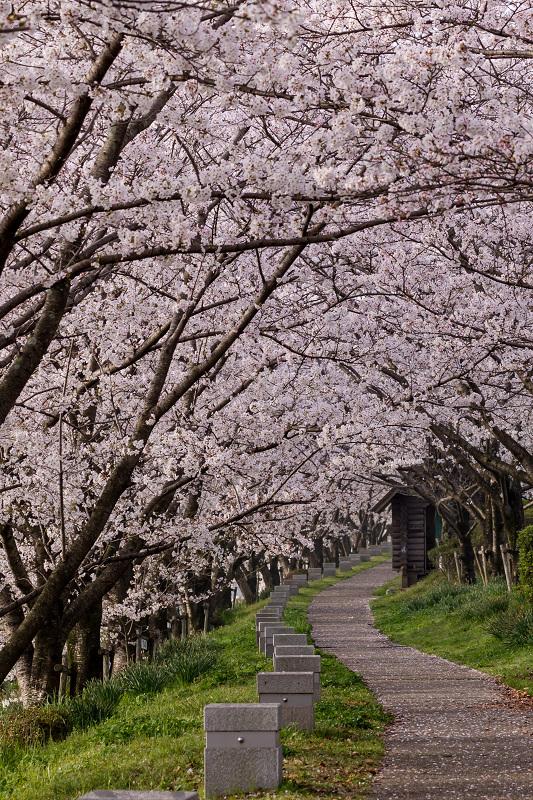 2021桜咲く京都  満開!木津川堤_f0155048_22295490.jpg