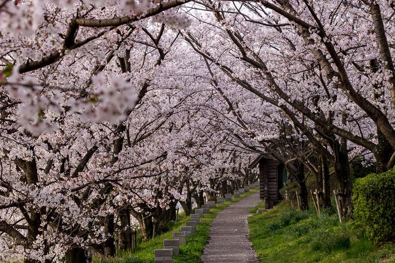 2021桜咲く京都  満開!木津川堤_f0155048_22301286.jpg