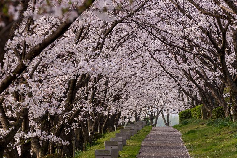 2021桜咲く京都  満開!木津川堤_f0155048_22315915.jpg