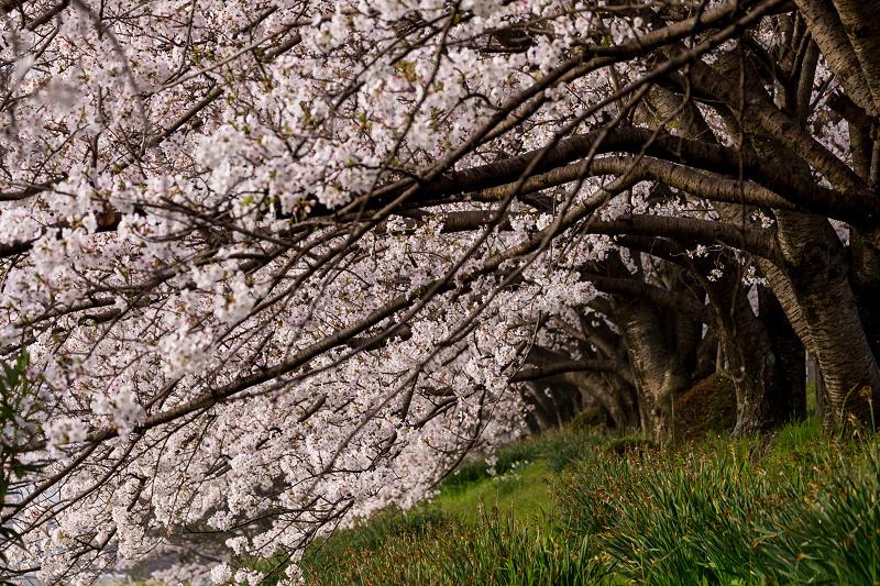 2021桜咲く京都  満開!木津川堤_f0155048_22322590.jpg